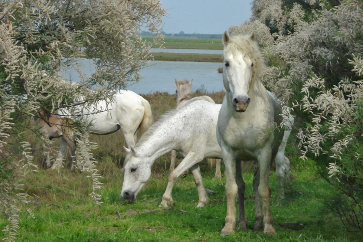 Penisola di Boscoforte (Ra) - Cavalli Camargue